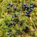 distilled juniper